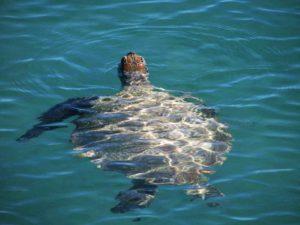 turtle at monkey mia